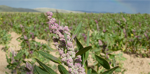 Un plant de quinoa dans son environnement naturel.