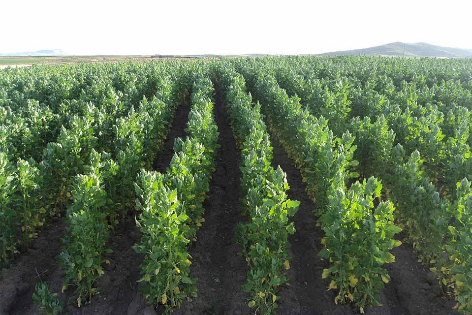 Les rangs d'un champ de quinoa : une toute petite part de ce que nous devons protéger !
