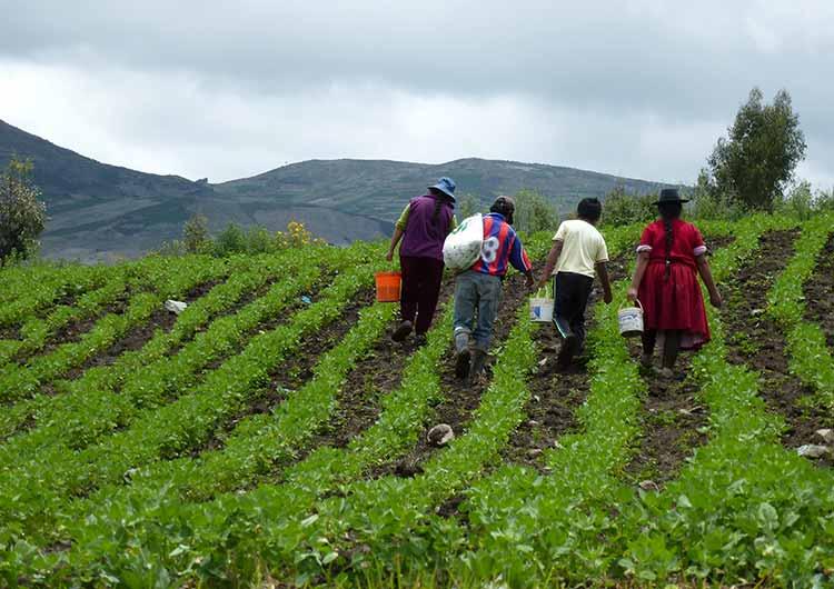 Les agriculteurs péruviens cultivent le quinoa dans le respect des traditions