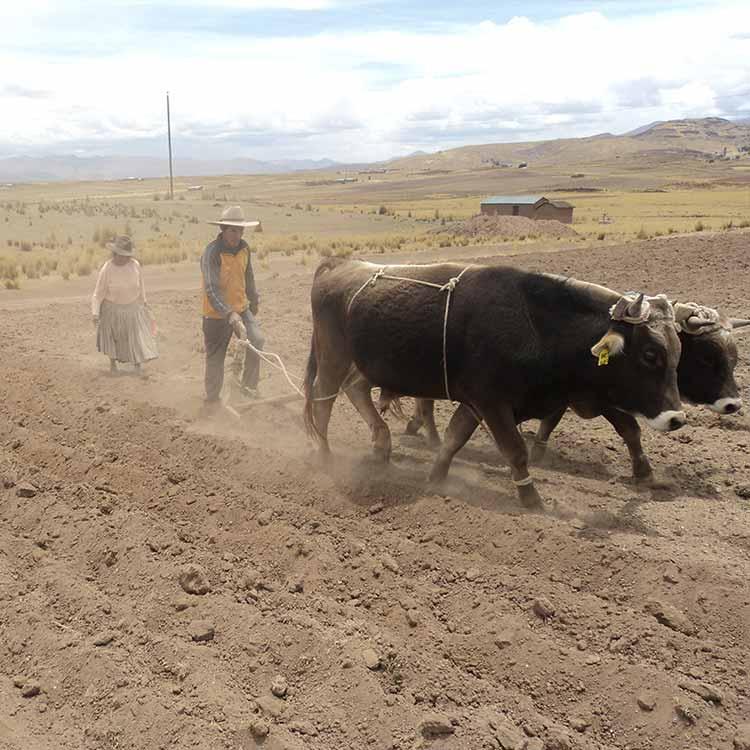 Des producteurs péruviens labourent un champ de quinoa à l'aide de boeufs de trait