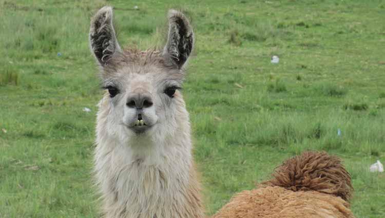 Le quinoa est la nourriture des Dieux, et des lamas !