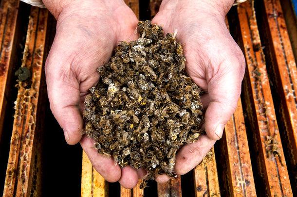 Beekeeper Henk Brouwer shows his dead bees. Half of the population of his colonies has died after the winter period. Bees and other pollinators  both natural and managed  seem to be declining globally, but particularly in North America and Europe. Lack of robust regional or international programs designed to monitor the current status and trends of pollinators means there is considerable uncertainty in the scale and extent of this decline. Nonetheless, the known losses alone are striking. In recent winters, honeybee colony mortality in Europe has averaged around 20% (with a wide range of 1.8% to 53% between countries). Imker Henk Brouwer in Zwiggelte bemerkt een massale sterfte onder zijn bijenkolonies na de winterperiode. Bijen en andere bloemenbestuivers nemen in aantal af, vooral in Europa en Noord Amerika. Er zijn geen goede landelijke of internationale programma's die de sterfte in kaart brengen dus het is niet bekend hoe hard het gaat. In de afgelopen winters was de sterfte gemiddeld 20% (varierend van 1.8 % tot 53% tussen verschillende landen).